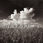 CORNFIELD #blackandwhite #black&white #wisconsin #corn #cornfield #landscape #midwestmemoir #clouds #sky #midwest