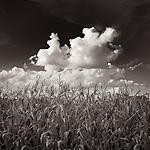 CORNFIELD #blackandwhite #black&white #wisconsin #corn #cornfield #landscape #midwestmemoir #clouds #sky #midwest