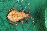 Lederwanze, Saumwanze, Larve, Larve, Nymphe, Nymphe, Leder-Wanze, Saum-Wanze, Coreus marginatus, Mesocerus marginatus, squash bug, nymph, larva, larvae, Randwanzen, Lederwanzen, Coreidae, leaf-footed bugs