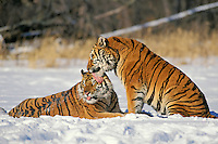 Siberian Tigers (Panthera tigris altaica), Endangered Species.  Winter.