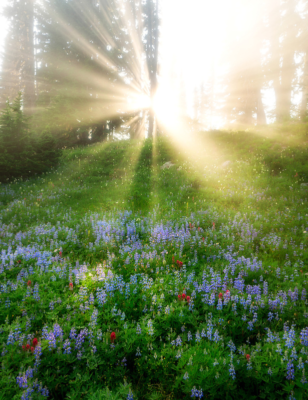 God rays through forg and trees with wildflowers. Mt. Rainier National Park, Washington
