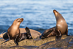 La Jolla, California; a pair of juvenile California sea lions basking in early morning sunlight, while resting on the rocky shoreline along the Pacific Ocean