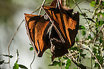 Little Red flying fox carrying her baby roosting and grooming with wings outstretched. The little red flying fox (Pteropus scapulatus) is a species of megabat native to northern and eastern Australia. With a weight of 280–530 grams it is the smallest flying fox in mainland Australia.  It has the widest range of all the species, going much further inland than the larger fruit bats. Its diet primarily consists of nectar and pollen of eucalypt blossoms, the pollination of which it is largely responsible. The little red flying fox is nomadic, and can be found in large groups of up to a million individuals. This species gives birth six months later than the other mainland flying fox species, in April and May.
