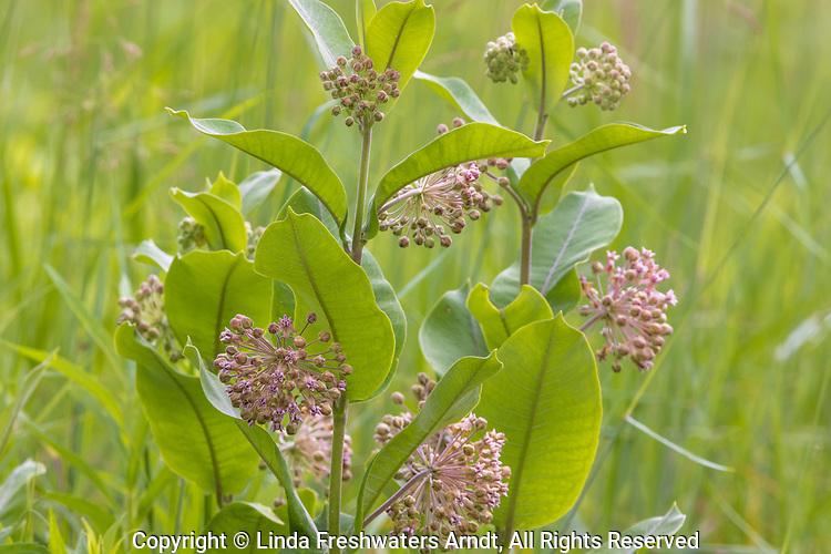 Common milkweed growing in northern Wisconsin.