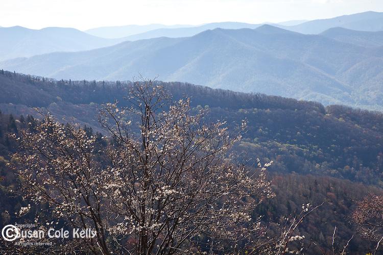 Serviceberry (Amelanchier arborea) in bloom at Waterrock Knob, Blue Ridge Parkway, NC, USA