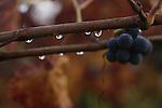 A vineyard after a autumn rain in Napa Valley, California.