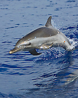 Young Pantropical Spotted Dolphin, Stenella attenuata, jumping out of boat wakes, note Cookiecutter Shark wounds, Isistius brasiliensis, off Kona Coast, Big Island, Hawaii, Pacific Ocean.