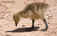 0224-1208  Canadian Gosling Foraging for Food (Canada Goose, Canadian Goose), Branta canadensis  © David Kuhn/Dwight Kuhn Photography