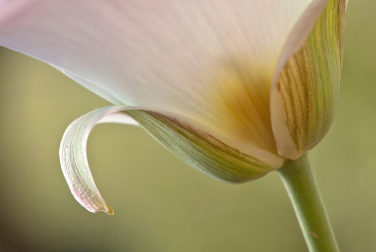 Close-up of Sego lily, also referred to as mariposa lily (Calochortus nuttallii) blooms in the Tonto National Forest near Rye, Arizona, USA