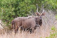 Nyala buck, Mkuze Game Reserve, SA