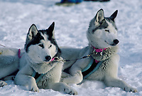 Iditarod Sled Dogs Laying on Snow Skwentna Checkpoint