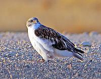 Juvenile light-morph ferruginous hawk. Bird is watching me as I drive closer.