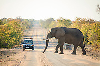 African Elephant (Loxodonta africana), bull crossing the H1-7 road, observed by park visitors in a jeep, Kruger National Park, South Africa, Africa