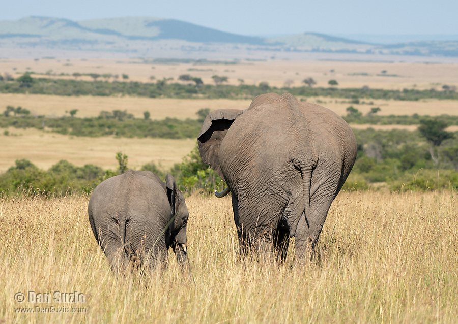 Female African Elephant and calf, Loxodonta africana, in Maasai Mara National Reserve, Kenya