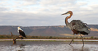 The Goliath heron is the world's tallest heron species.  Here, one approaches an African fish eagle.