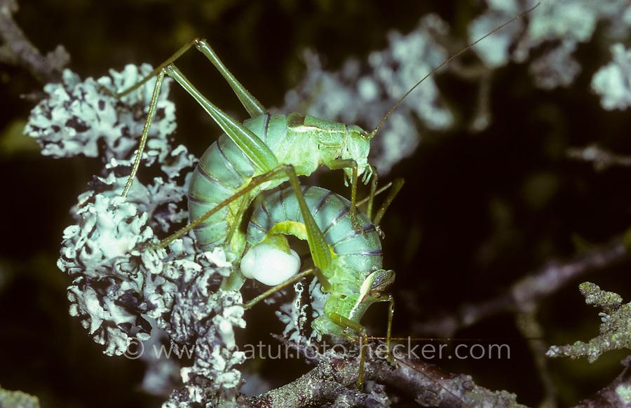 Gemeine Plumpschrecke, Paarung, Kopulation, Kopula, Isophya kraussii, pairing, Sichelschrecken, Phaneropterinae