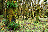 Natural opening in temperate old-growth forest near Queets River, Queets rainforest, Olympic National Park, Jefferson County, Washington, USA