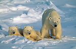 A mother polar bear stands wither her two cubs in Churchill, Manitoba, Canada.