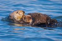 USA, California, Moss Landing, Sea otter (Enhydra lutris nereis) mother and baby