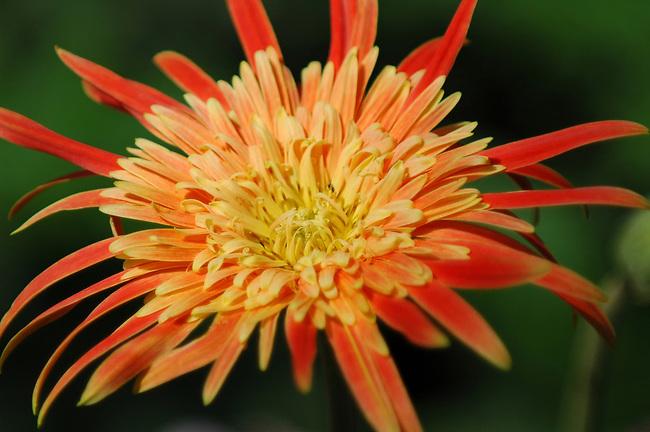 Gerbera Daisy, Malawi variety
