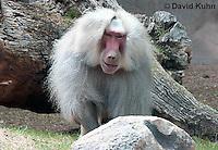 0719-1104  Male Hamadryas Baboon, Papio hamadryas  © David Kuhn/Dwight Kuhn Photography.