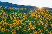 Sunrise over Balsamroot and Lupine wildflowers.  Early Spring (April) near Dalles Mountain Ranch, Columbia Hills State Park, WA.