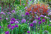 Mixed border with Allium 'Purple Sensation' and Berberis thunbergii Tangelo Barberry and Anthriscus in spring,, O'Byrne Garden