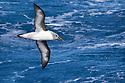 Grey-headed Albatross (Thalassarche chrysostoma) near to South Georgia, Southern Ocean. November.