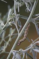 Zackenbindiger Rindenspanner, Pflaumenspanner, Raupe frisst an Wermut, Ectropis crepuscularia, Ectropis bistortata, Boarmia bistortata, Engrailed, Small Engrailed, Small Engrailed Moth, hieroglyphic moth, caterpillar, Spanner, Geometridae, looper, loopers, geometer moths, geometer moth