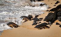 Turtles arriving on beach at Ho'okipa Beach Park, Maui, Hawaii