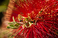A bee among the bright red stamen of a bottle brush flower on a tree in a yard in a neighborhood on a spring afternoon, doing what bees do.  Pollinate