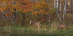 White-tailed doe and fawn feeding in a Wisconsin field.