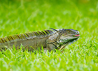 Green Iguana, Iguana iguana, eating grass on a lawn at Laguna Lodge, Tortuguero National Park, Costa Rica