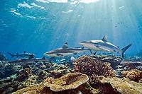three shark species, A Grey Reef shark or gray reef shark, Carcharhinus amblyrhynchos, Blacktip Reef shark, Carcharhinus melanopterus, and Whitetip Reef Shark, Triaenodon obesus, swim in the shallows of Shark Reef, a marine protected zone in Beqa Lagoon, Pacific Ocean Harbor, Viti Levu, Fiji, South Pacific Ocean