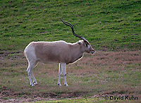0211-08zz  Addax, Addax nasomaculatus © David Kuhn/Dwight Kuhn Photography