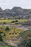 Bison herd, Theodore Roosevelt National Park, North Dakota, Aug.