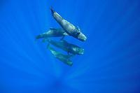 short-finned pilot whales, Globicephala macrorhynchus, swimming and socializing in open ocean, Kona Coast, Big Island, Hawaii, USA, Pacific Ocean
