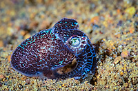 hummingbird bobtail squid, Euprymna berryi, aka Berry's bobtail squid, Anilao, Batangas, Philippines, Pacific Ocean