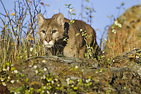 Mountain lion stalking through the grass and over a rock - CA