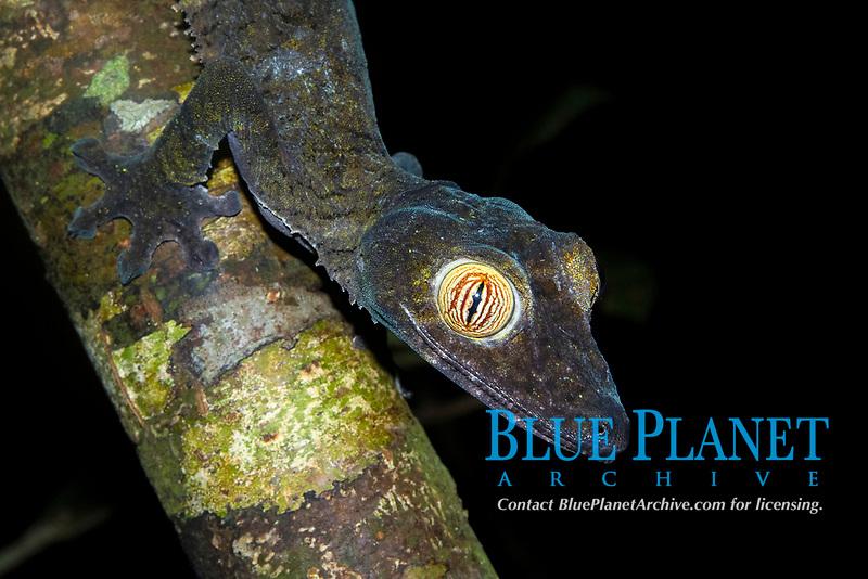 common flat-tail gecko (Uroplatus fimbriatus), on a tree branch, island of Nosy Mangabe, Antongil Bay, Madagascar, Africa