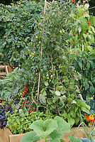 Tomatoes cherry type growing in raised bed on teepee stake with herbs basil, Nasturtium Tropaeoleum flowers, cabbage, scarlet runner beans Phaseolus and other crop food vegetables in backyard garden