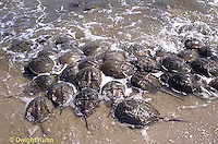 1Y47-158x  Horseshoe Crab - mating on beach at high spring tide -  Limulus polyphemus