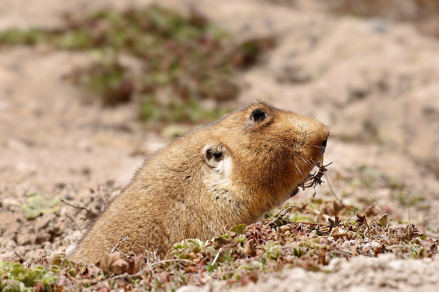 The endemic giant mole-rat is the favorite prey of the endangered Ethiopian Wolf in the Bale Mountains, Ethiopia, Africa.