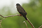 A snail kite perches on a tree limb in the Pantanal, Mato Grosso, Brazil.
