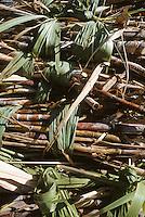 France/DOM/Martinique/Rivière-Pilote/Distillerie La Mauny: Coupe et récolte de la canne à sucre - Détail canne à sucre coupée et liée