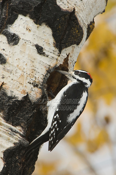 Hairy Woodpecker, Picoides villosus, male on aspen tree, Grand Teton NP,Wyoming, USA