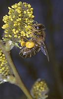 """Blütenbesuch an Salweide, mit """"Pollenhöschen"""""""