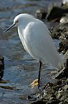 Snowy Egret Close Portrait Bolsa Chica Wildlife Refuge Southern California