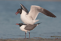 Laughing Gulls (Larus atricilla) mating