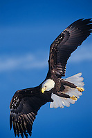 Bald Eagle in flight